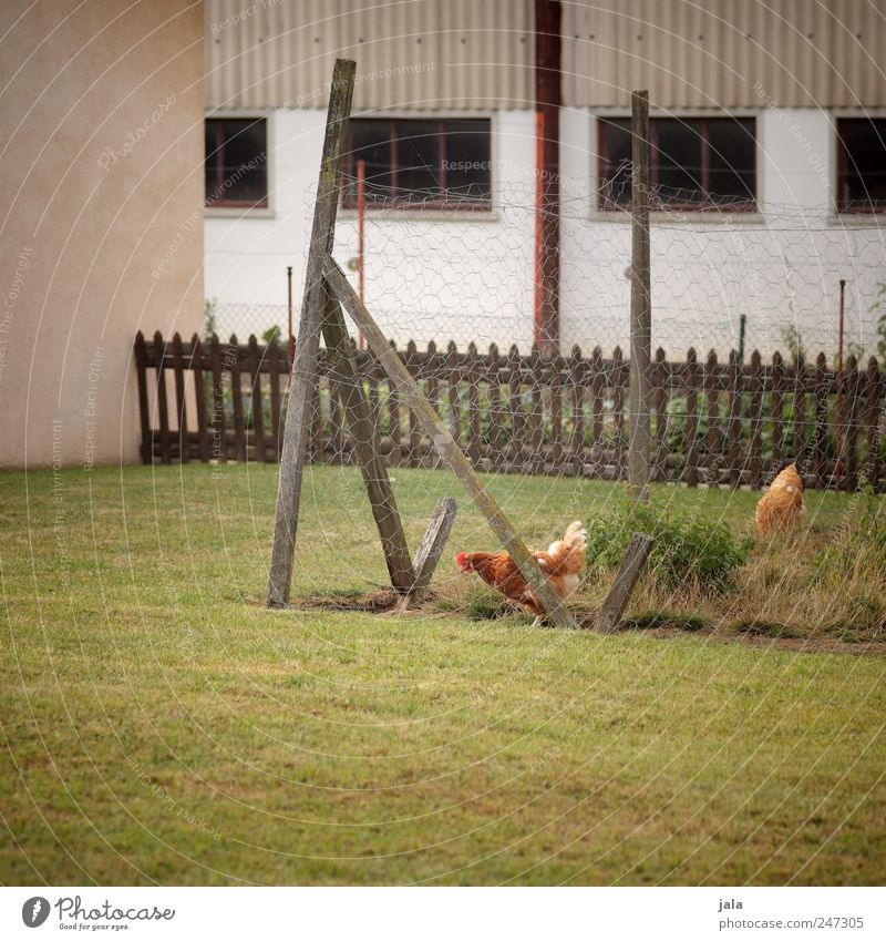 hühnerhof Nature Plant Grass House (Residential Structure) Manmade structures Building Wall (barrier) Wall (building) Facade Window Animal Barn fowl 2 Natural