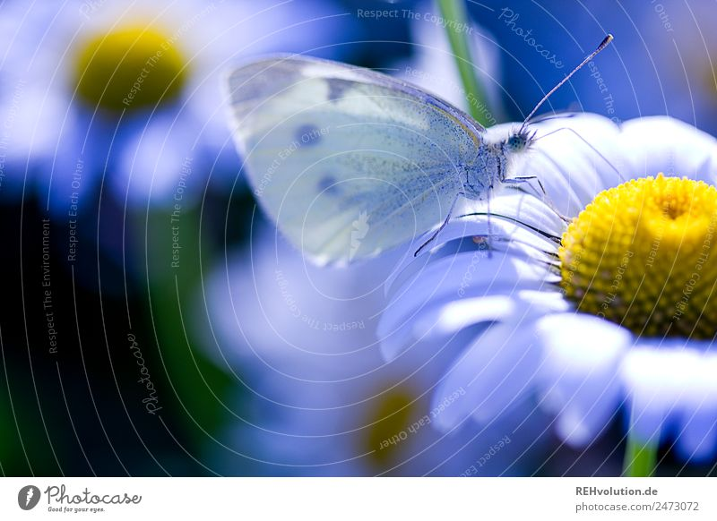 cabbage white butterfly on a magarite Environment Nature Plant Summer Beautiful weather Flower Blossom Wild plant Meadow Animal Butterfly 1 Natural Blue