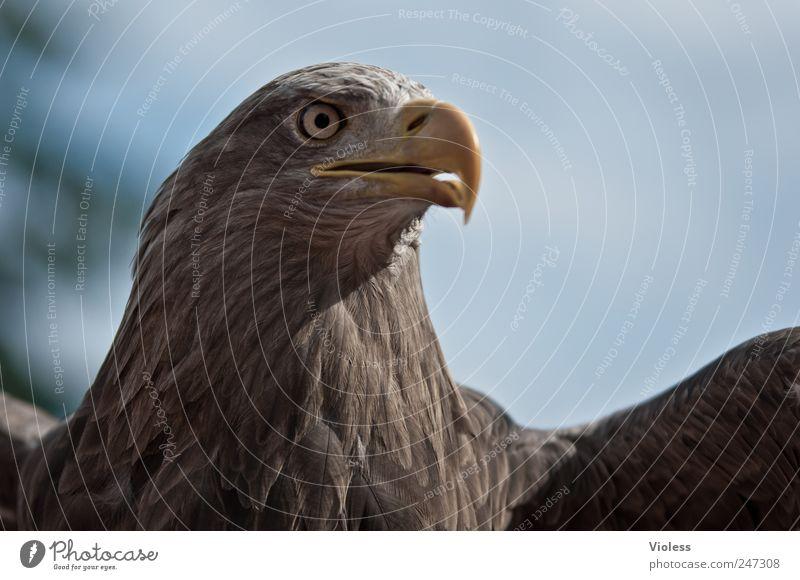 BEEP - BIG BIRD Animal Bird Wing 1 Flying Brown Power Eagle Eagles eyes piercing eyes Bird of prey Colour photo