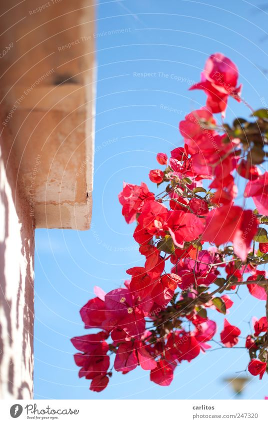 Vacation & Travel Beautiful Plant Summer Red Animal Wall (building) Wall (barrier) Blossom Pink Beautiful weather Esthetic Blossoming Dry Violet Cloudless sky