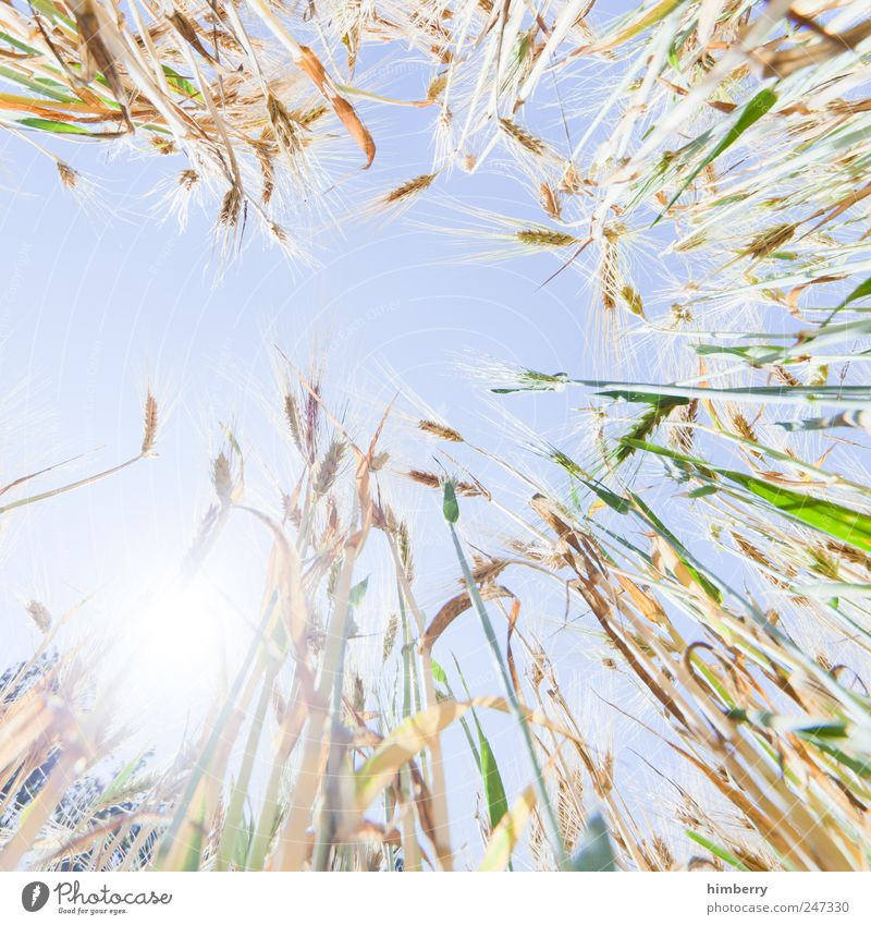 kornborn Food Grain Nutrition Agriculture Forestry Art Nature Landscape Plant Sky Cloudless sky Sun Sunlight Summer Beautiful weather Agricultural crop Field