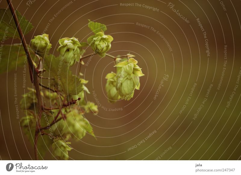 Nature Green Plant Leaf Environment Brown Natural Foliage plant Hop Agricultural crop