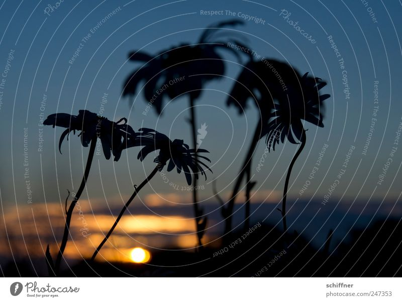 Brittany-Palms Nature Plant Sky Sunrise Sunset Sunlight Flower Blossom Sadness Grief Marguerite Calm Meditative Transience Exterior shot Deserted Evening
