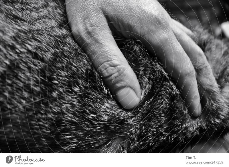 cat love Human being Masculine Hand 1 Animal Pet Cat Pelt Emotions Secrecy Warm-heartedness Sympathy Friendship Together Love of animals Black & white photo