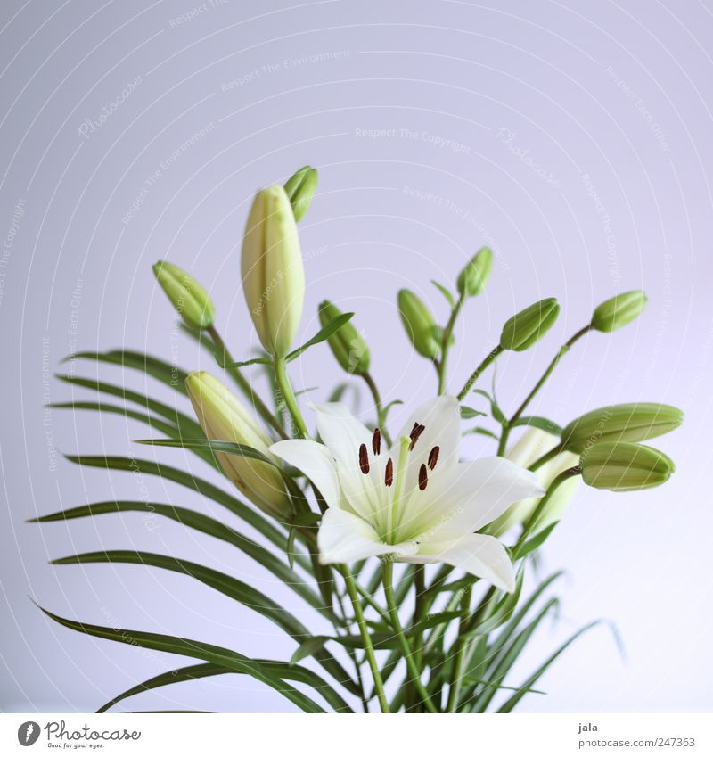 lilies Living or residing Flat (apartment) Decoration Nature Plant Flower Blossom Esthetic Beautiful Green Violet White Lily Bouquet Colour photo Interior shot