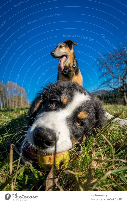 young and old Animal Pet Dog 2 Baby animal Playing Blue Brown Green Black Bernese Mountain Dog Nature Puppy Colour photo Multicoloured Exterior shot