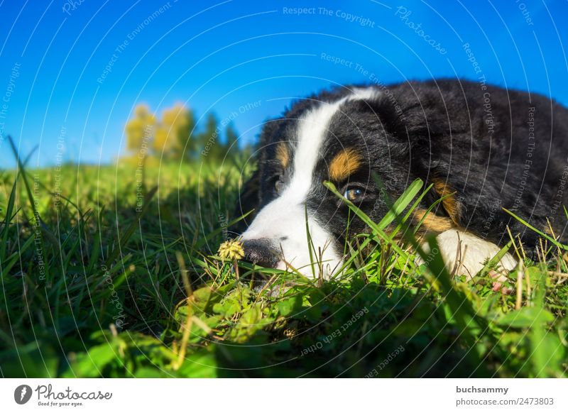 Bernese Mountain Dog Puppy Nature Animal Sky Summer Beautiful weather Grass Meadow Deserted Pet 1 Baby animal Lie Looking Cute Blue Brown Green Black