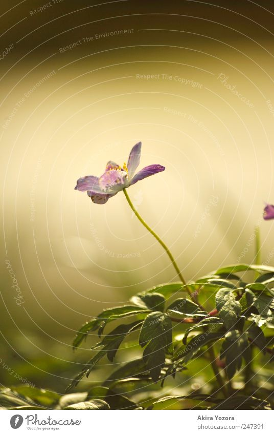 Growing towards the light Nature Plant Spring Flower Grass Leaf Blossom Wood anemone Meadow Blossoming Growth Yellow Green Violet Black Environment Colour photo