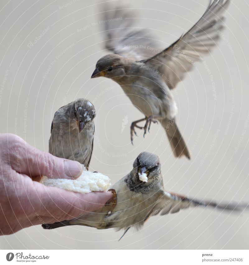 Three Human being Hand Fingers 1 Environment Nature Animal Wild animal Bird Wing 3 Flying To feed Gray Sparrow Floating Feeding Beak Colour photo Exterior shot