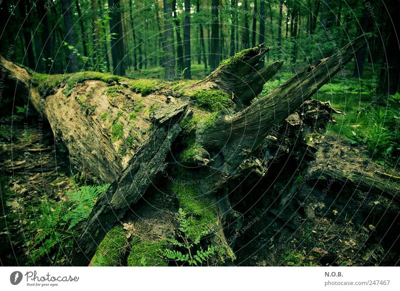 Nature Old Green Tree Plant Summer Forest Death Environment Natural Change Transience Decline Moss Sustainability Contrast