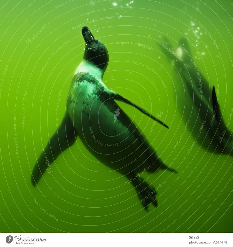 Weightless II Water Animal Penguin 2 Green Black White Weightlessness Colour photo Exterior shot