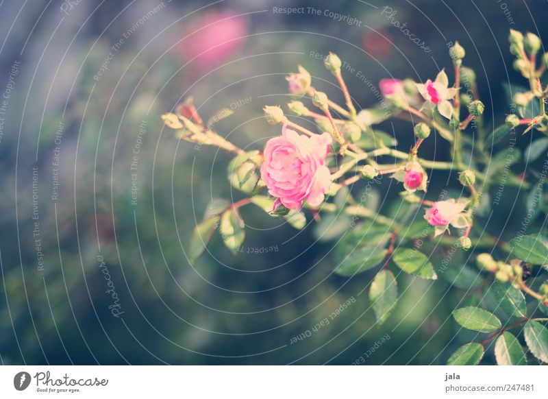 Nature Green Plant Flower Leaf Blossom Environment Pink Rose Natural