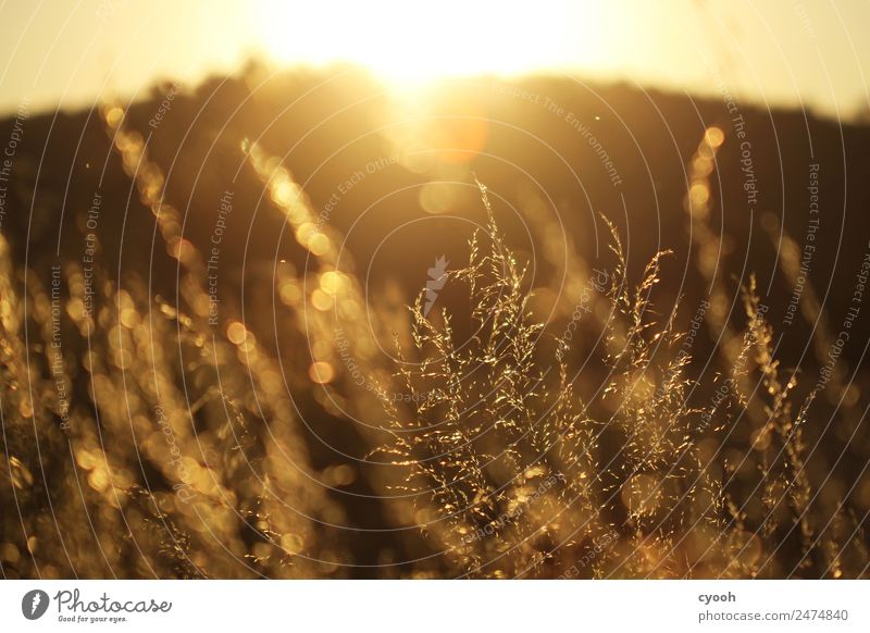 Grass fireworks 6 Nature Landscape Plant Summer Beautiful weather Meadow Field To enjoy Blonde Free Hot Bright Yellow Gold Happy Contentment
