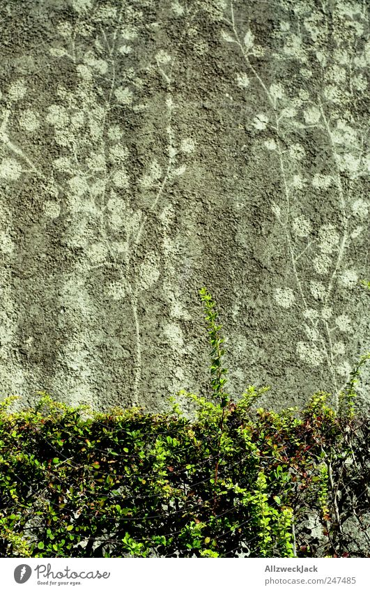 Plant Wall (building) Dirty Bushes Transience Memory Ivy Foliage plant Imprint