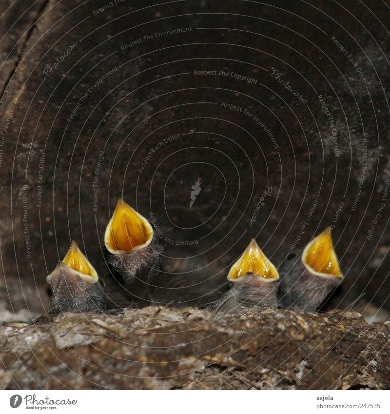 loud quartet Animal Wild animal Bird Swallow Beak 4 Baby animal Scream Appetite Voracious Beg Wait Expectation Hope Vociferous Colour photo Interior shot