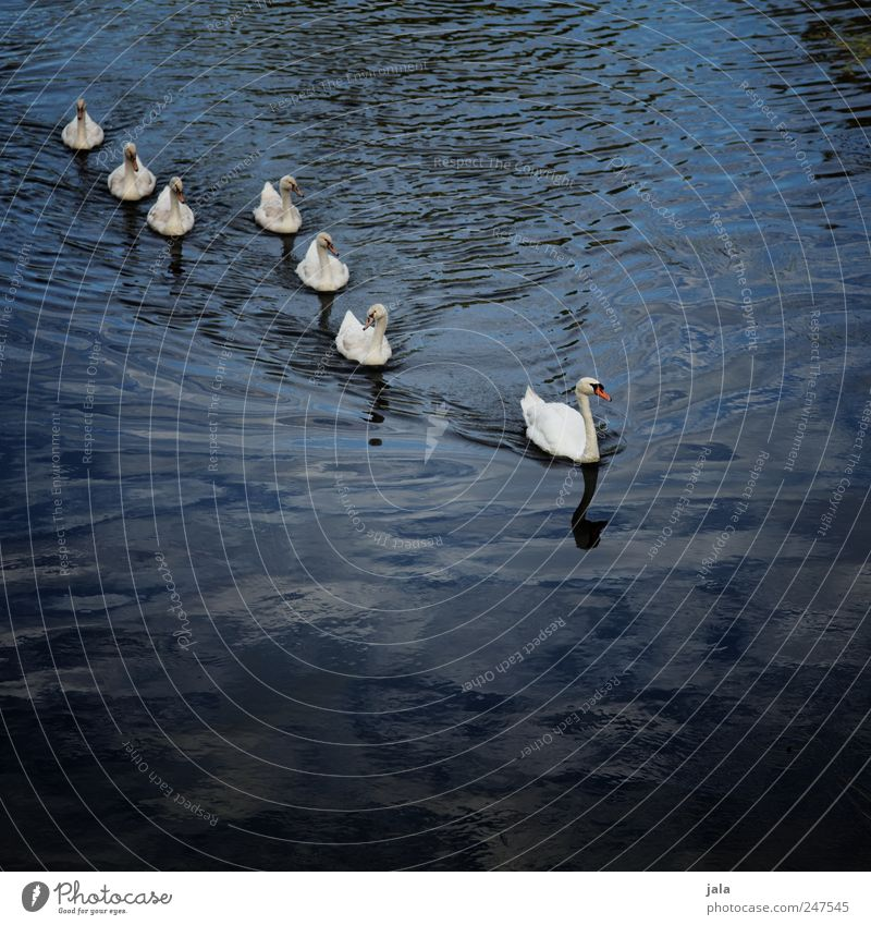 White Blue Animal Bird Elegant Esthetic Natural River Wild animal Group of animals Swan Animal family