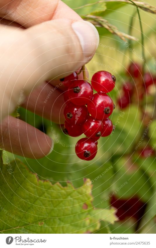 currant bush Fruit Organic produce Man Adults Hand Fingers Summer Plant Bushes Diet Select Movement Discover Eating To hold on Fresh Healthy Red Redcurrant