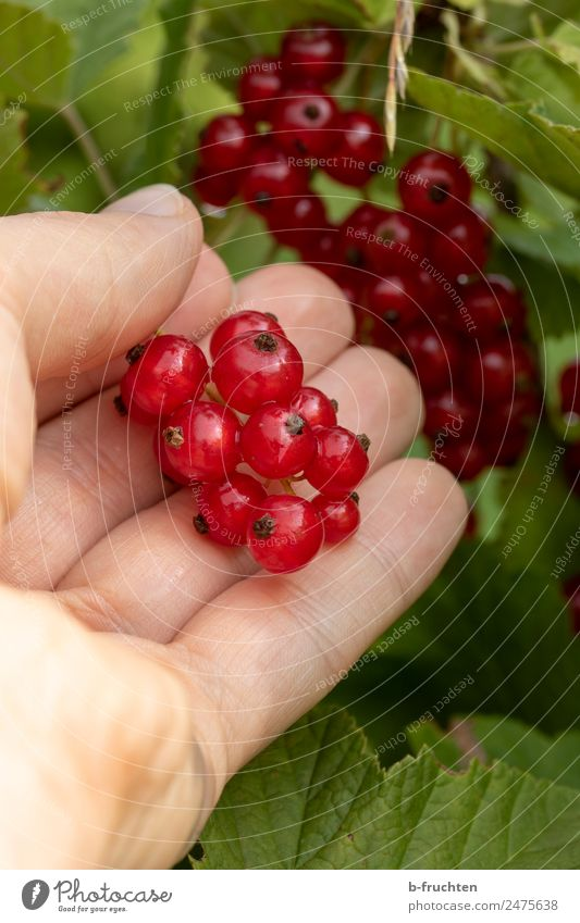 Red Currants Food Fruit Organic produce Man Adults Hand 30 - 45 years Plant Bushes To hold on Hang Fresh Redcurrant Berries Harvest Mature Fruity Candy