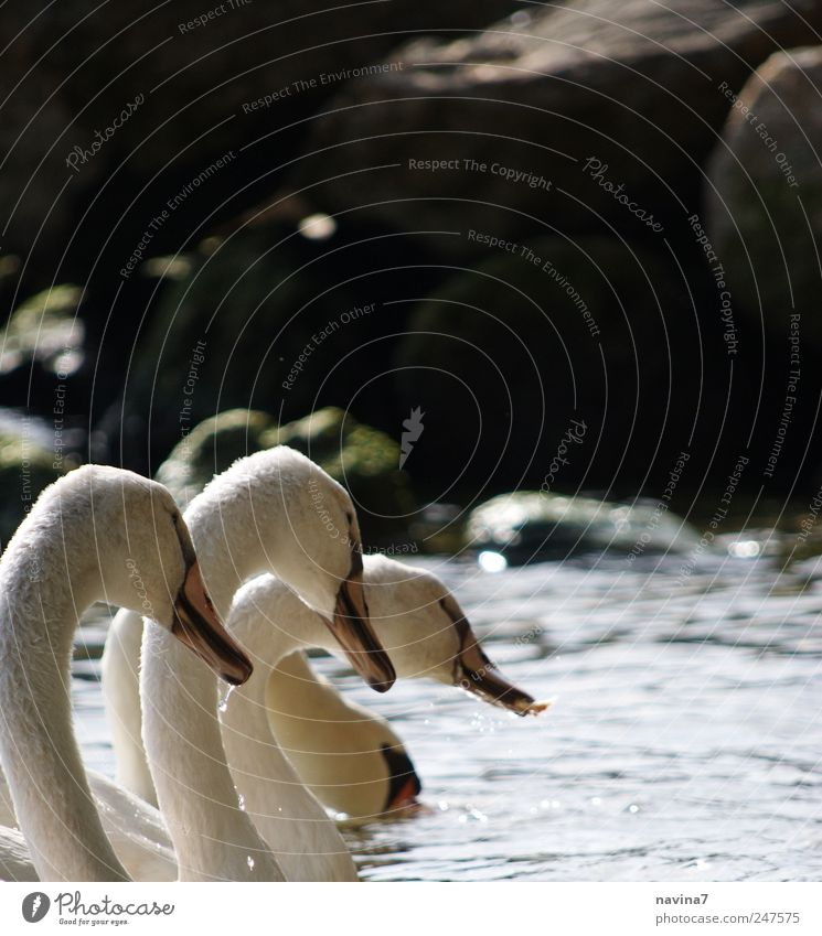 White Animal Together To feed Swan Loyalty Flock Bird Animal family