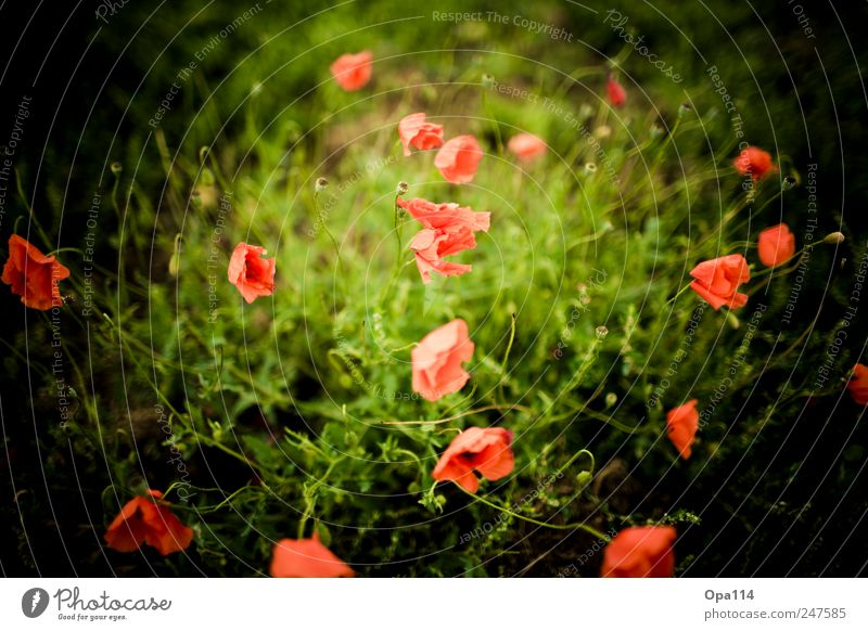 more poppy Environment Nature Landscape Plant Animal Summer Beautiful weather Flower Grass Bushes Leaf Blossom Foliage plant Agricultural crop Garden Meadow
