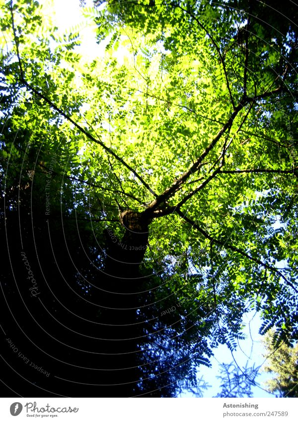 leaf canopy Environment Nature Plant Sky Summer Weather Beautiful weather Tree Leaf Forest Tall Blue Green Black Deciduous tree Branch Branchage Colour photo