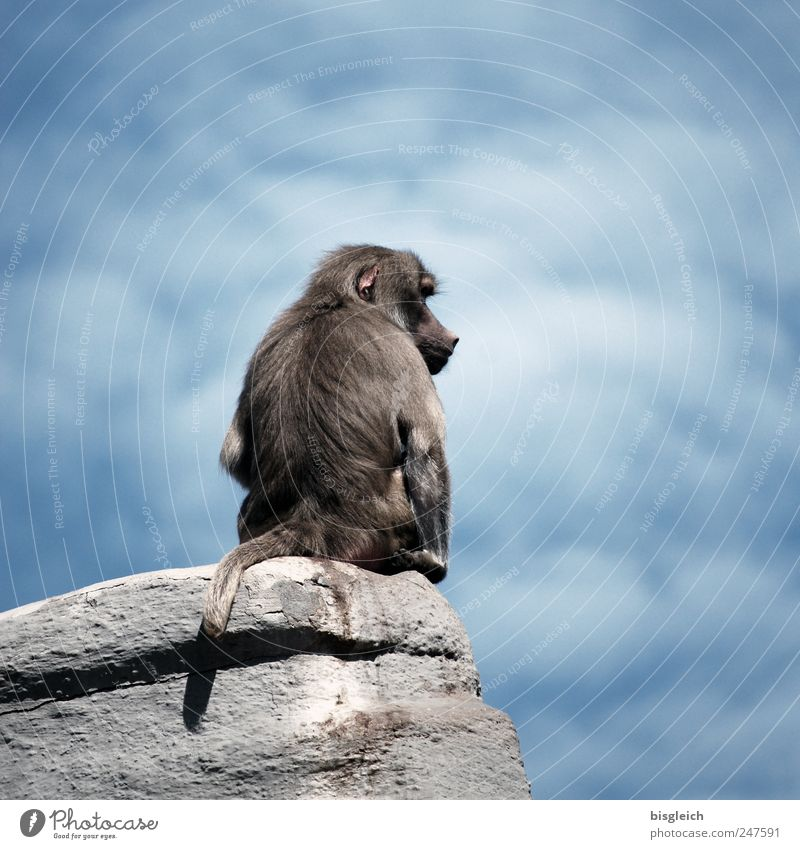 alpha Sky Clouds Animal Wild animal Zoo Monkeys Baboon 1 Sit Wait Blue Gray Rock alphatier strands Dominant Colour photo Subdued colour Exterior shot Deserted