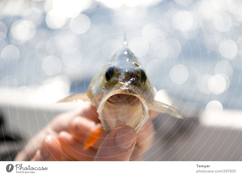 Hungry_Passionfish Animal Fish Animal face Scales Perches perch 1 Baby animal Aggression Fantastic Gigantic Large Near Wet Thorny Strong Green Power Appetite
