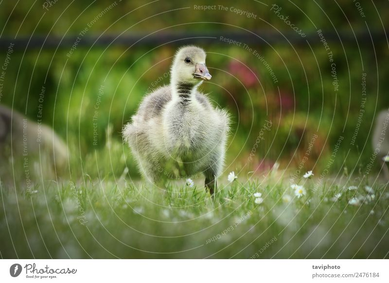 cute gosling on lawn Eating Baby Nature Animal Grass Park Bird Feeding Small Natural Cute Yellow Green White Loneliness Gosling fluffy Lawn young spring Beak