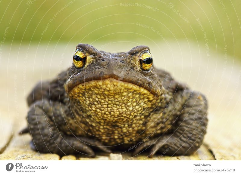 front view of cute common brown frog Beautiful Face Nature Animal Wood Stand Small Natural Cute Wild Brown Dangerous Bufo Toad European wildlife fauna bumpy