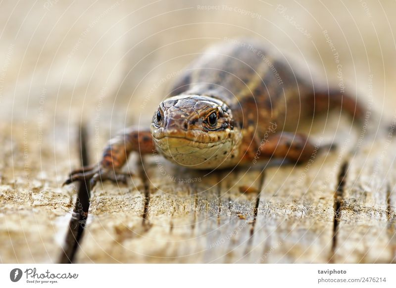 front view of viviparous lizard Sunbathing Environment Nature Animal Small Natural Wild Brown Gray Colour Reptiles wildlife zootoca vivipara common fauna scales