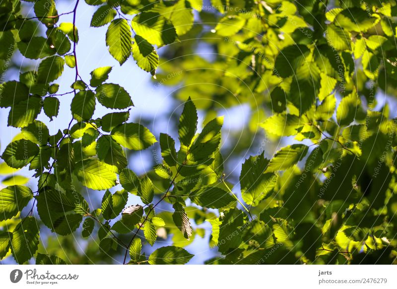 green and blue Nature Plant Sky Beautiful weather Tree Leaf Forest Fresh Natural Blue Green Serene Calm Hope Beech wood Beech leaf Colour photo Deserted Day