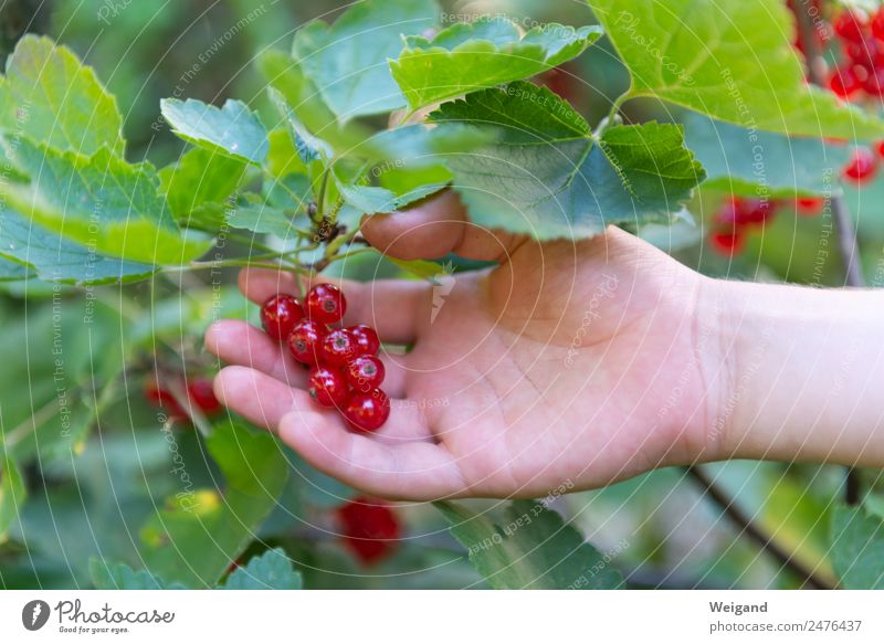 currant Life Harmonious Well-being Senses Hand Glittering Happy Green Red Harvest Fruit Berries Redcurrant Spring Jam Pick Colour photo