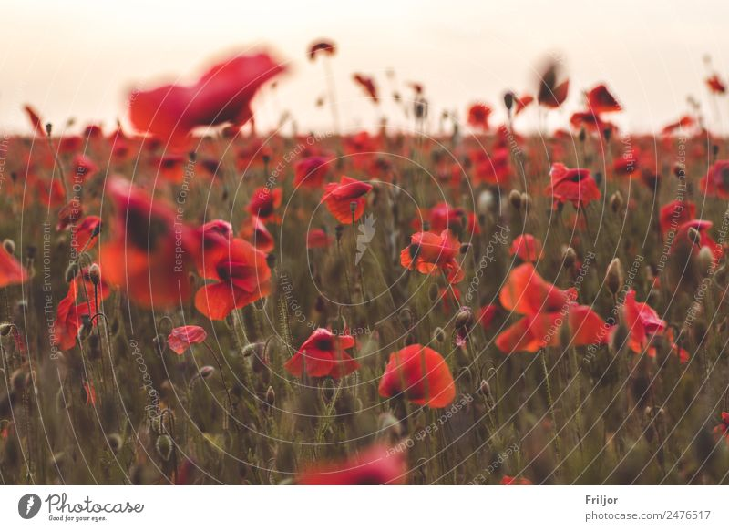 Poppy Field II Nature Plant Sunrise Sunset Summer Flower Blossom Foliage plant Agricultural crop Meadow Fresh Beautiful Natural Green Red Poppy blossom papaver