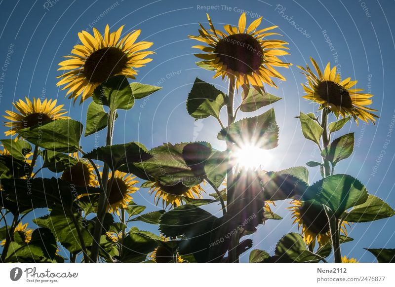 let the sunshine... Environment Nature Plant Summer Beautiful weather Flower Leaf Blossom Agricultural crop Garden Field Gigantic Large Warmth Yellow Sunflower