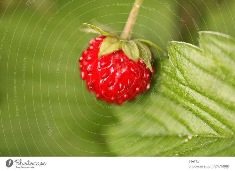 Forest Strawberry III Fruit Berries Wild strawberry Nature Summer Plant Leaf Agricultural crop Wild plant Forest fruit Garden Fresh Delicious Round Beautiful