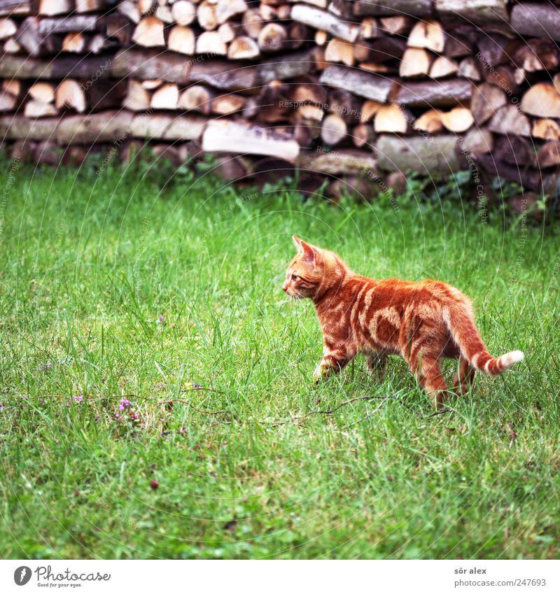 Green Cat Beautiful Animal Meadow Wood Garden Small Orange Baby animal Wait Cute Curiosity Animal face Pelt Concentrate