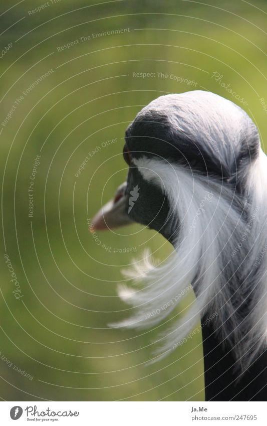 ...I have beautiful hair! Nature Animal Wild animal Bird Animal face Crane Stride bird maiden crane Feather 1 Green Conceited Bird's head Bright background