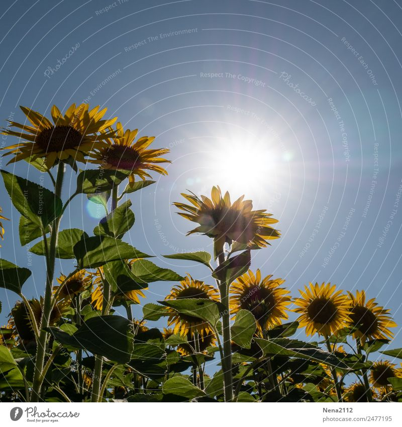 Let the sun shine... Environment Nature Plant Sky Cloudless sky Weather Beautiful weather Flower Leaf Blossom Agricultural crop Garden Field Large Yellow