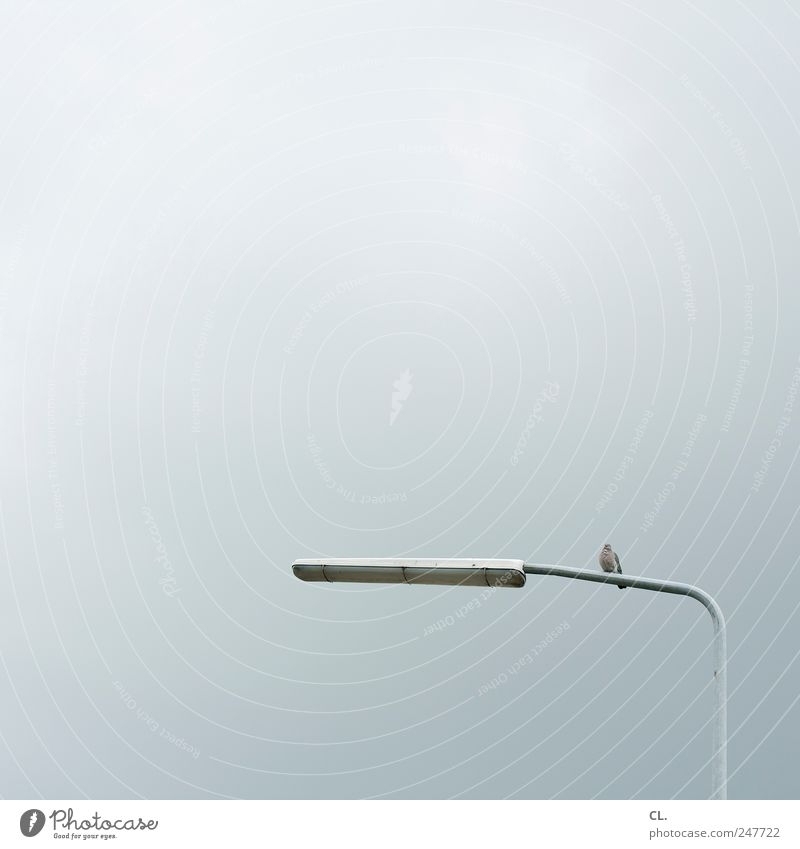 dove Animal Bird Pigeon 1 Observe Sit Simple Free Cold Calm Boredom Loneliness Street lighting Lamp Light Sky Clouds Gray Colour photo Subdued colour