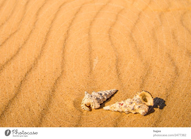 Sea snails on the beach Joy Relaxation Vacation & Travel Summer Beach Nature Yellow marine gastropods Housing Sandy beach Caribbean Sea Line Empty Copy Space