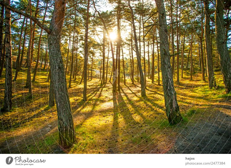 Forest in back light in spring Nature Moss Bright Yellow Gold Green Light Back-light Sunbeam in the morning Smooth Soft Pine Foliage plant Bog Recreation area
