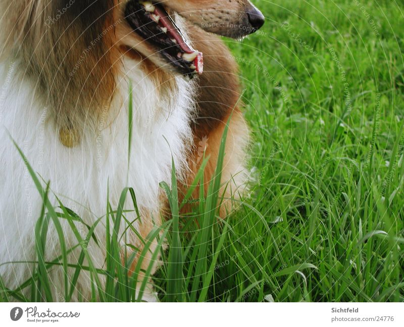 spike Collie Green Pelt Field Direction Pet Dog Perspective Lassie Nature Free Tongue grass cut Wait