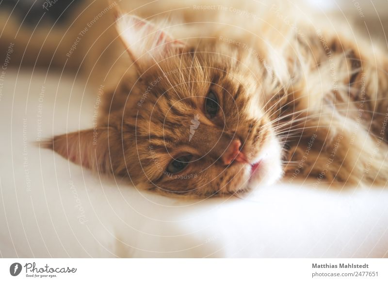 Marley Animal Pet Cat Animal face main coon 1 Relaxation Sleep Dream Cuddly Natural Cute Beautiful Warmth Soft Brown Emotions Moody Contentment Safety