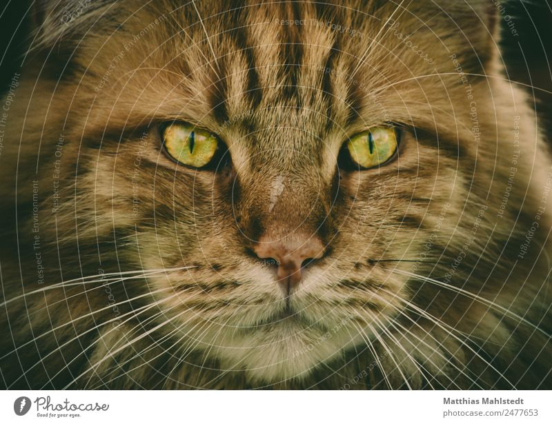 Marley Animal Pet Cat Animal face main coon 1 Observe Looking Esthetic Exceptional Exotic Beautiful Cuddly Wild Soft Brown Cool (slang) Pride Colour photo