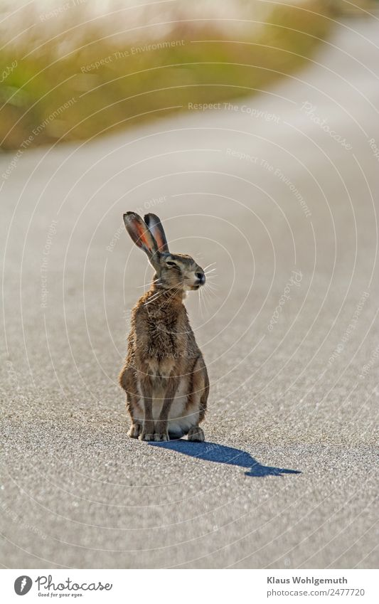 Photo shooting with Meister Lampe Environment Nature Animal Summer Beautiful weather Grass Street Pelt Paw Hare & Rabbit & Bunny 1 Observe Listening Sit Wait