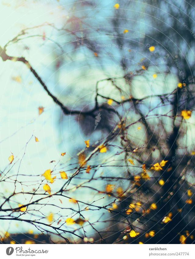 autumn lines Nature Autumn Blue Yellow Birch tree Leaf Autumn leaves Autumnal Colour photo Exterior shot Abstract Pattern Structures and shapes Deserted