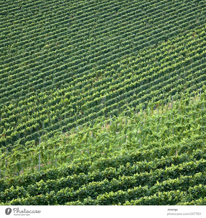 New wine Agriculture Forestry Nature Foliage plant Vineyard Line Growth Simple Green Colour Winegrower Kaiserstuhl Colour photo Pattern Structures and shapes
