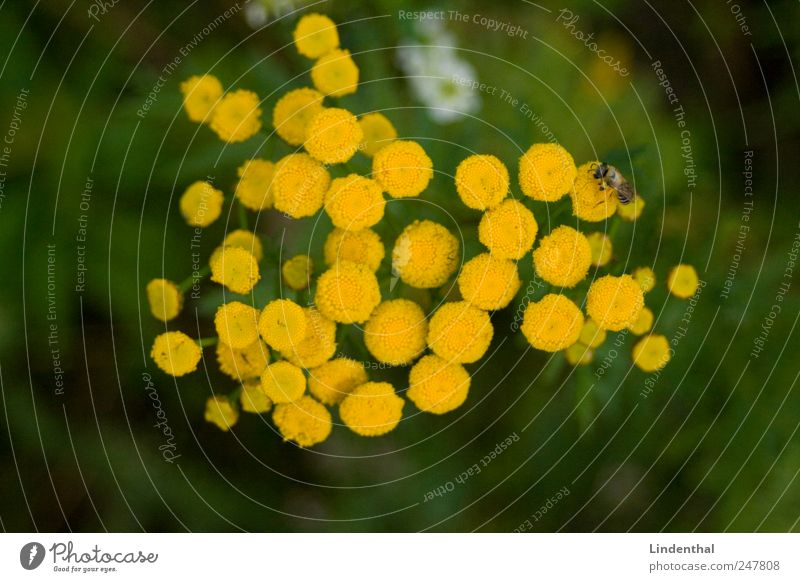 Mosquito on such a flower (Rainfarm) Nature Plant Blossom Animal 1 Exotic Yellow Bow tie lean rocks Meadow Nectar Sprinkle Flower Bee Colour photo