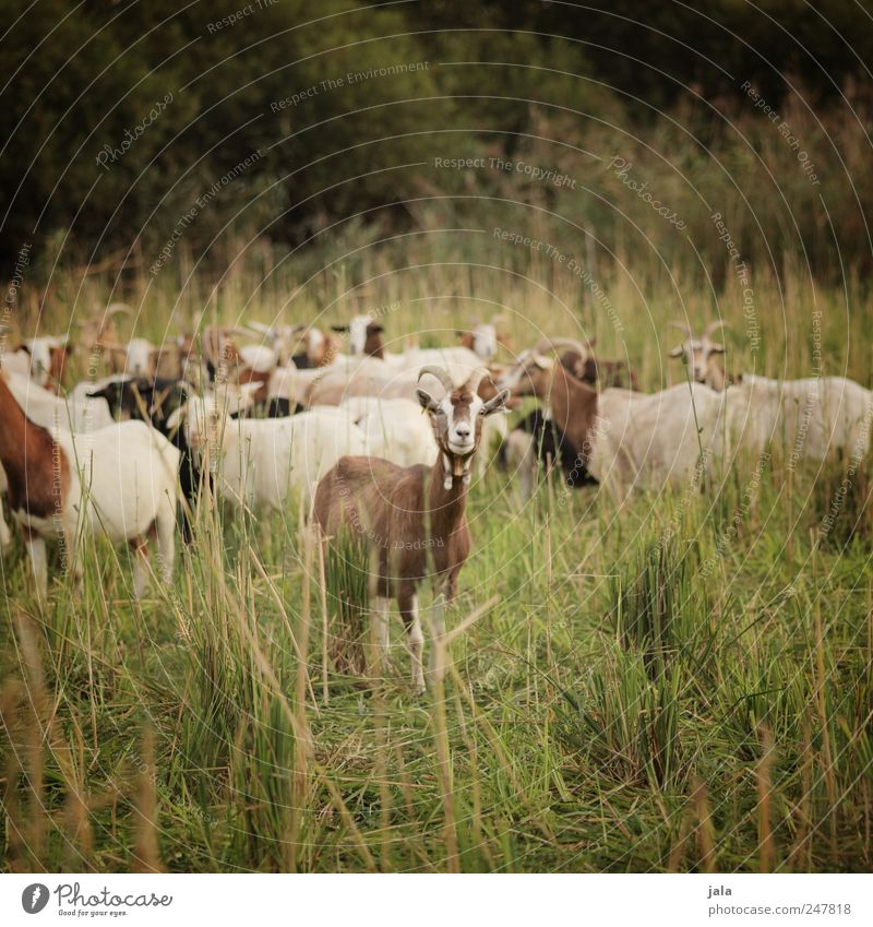goat meadow Environment Nature Landscape Plant Animal Grass Bushes Meadow Farm animal Goats Herd Natural Brown Green Colour photo Exterior shot Deserted Day