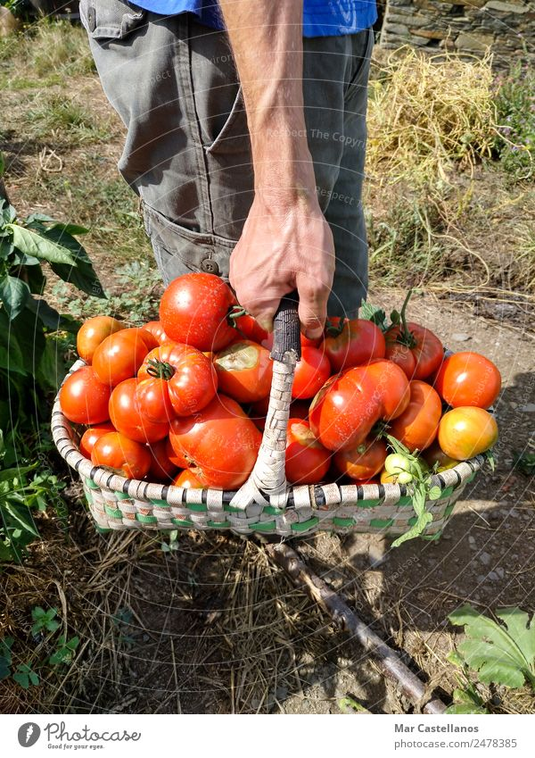 Harvesting Tomatoes in the Orchard Vegetable Fruit Vegetarian diet Summer Sun Human being Masculine Hand 1 Plant Leaf Village Feeding Natural Green Red picking
